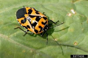 harlequin_bug