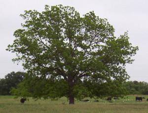 Native Pecan Tree