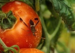 Leaf footed bug on tomato.