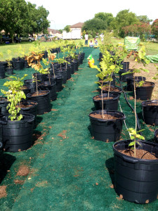 170 trees were repotted into 12 gallon pots.