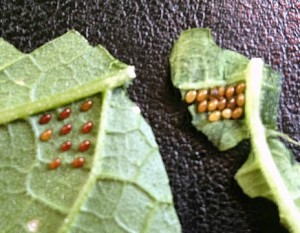 Cucumber Beetle Eggs
