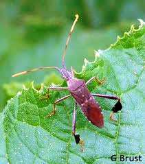 Leaf Footed Stink Bug