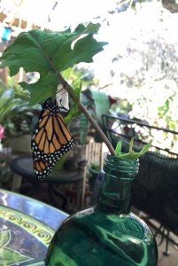 Monarch emrges from chrysallis.