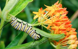 Monarch caterpillar on butterfly milkweed (Asclepias tuberosa).