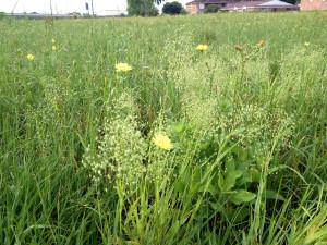 Westbury Pocket Prairie