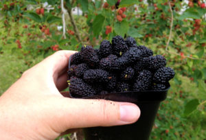 Mulberries contain a wide variety of phytonutrients.