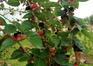 Mulberries!